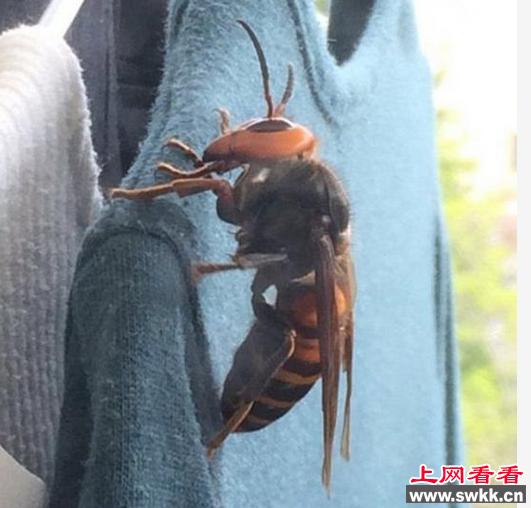 衣上趴有一只巨大的大虎头蜂,尽管受到了惊吓,但她还是拍摄了很图片