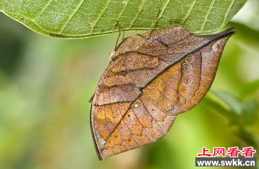 大自然的模仿高手:枯叶蝶