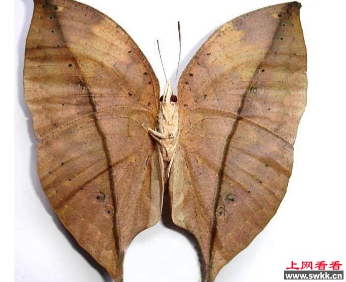 遂宁市民发现罕见枯叶蝶