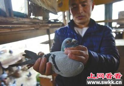 百羽信鸽一月三次被盗光 苦了养鸽人