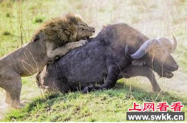 非洲雄狮力大无穷 屠杀强壮野牛