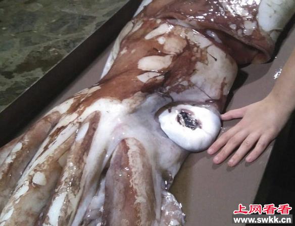 巨型乌贼尸体竟然体长达3米