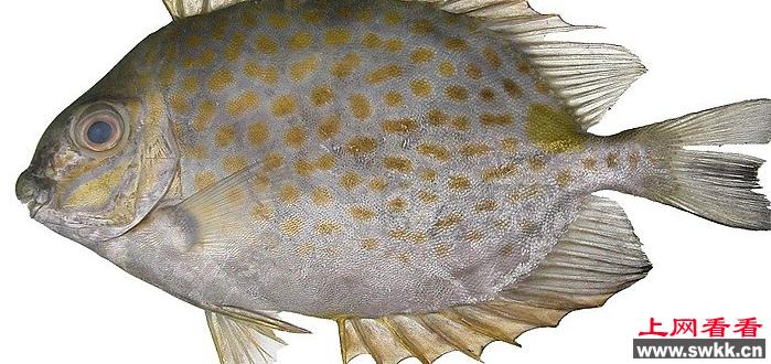 """篮子鱼:藻类""""清道夫"""""""