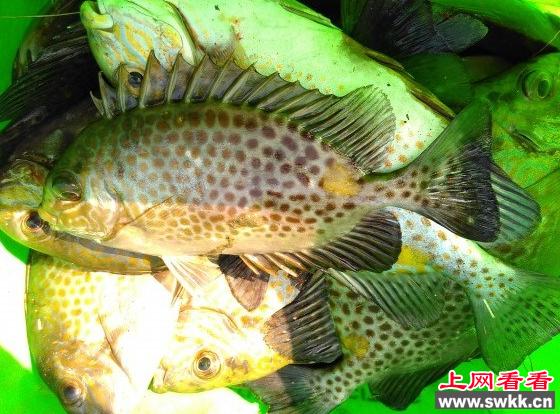 浒苔克星:篮子鱼