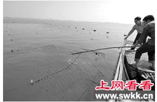 晋江东石村民种植的紫菜被篮子鱼一扫而空