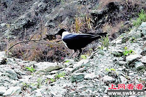 绵阳首次发现保护鸟类白颈鸦
