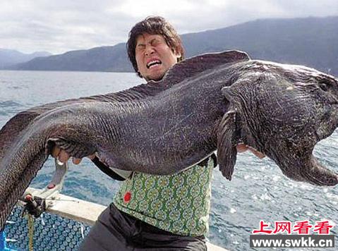 面相丑陋但无害的狼鱼